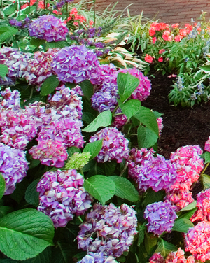garden lighting on hydrangeas