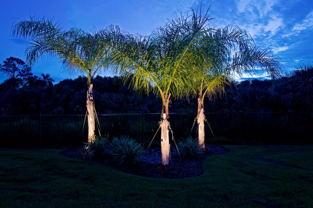 queen palm tree