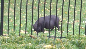 Pot Belly Pig as a pet in someone's backyard